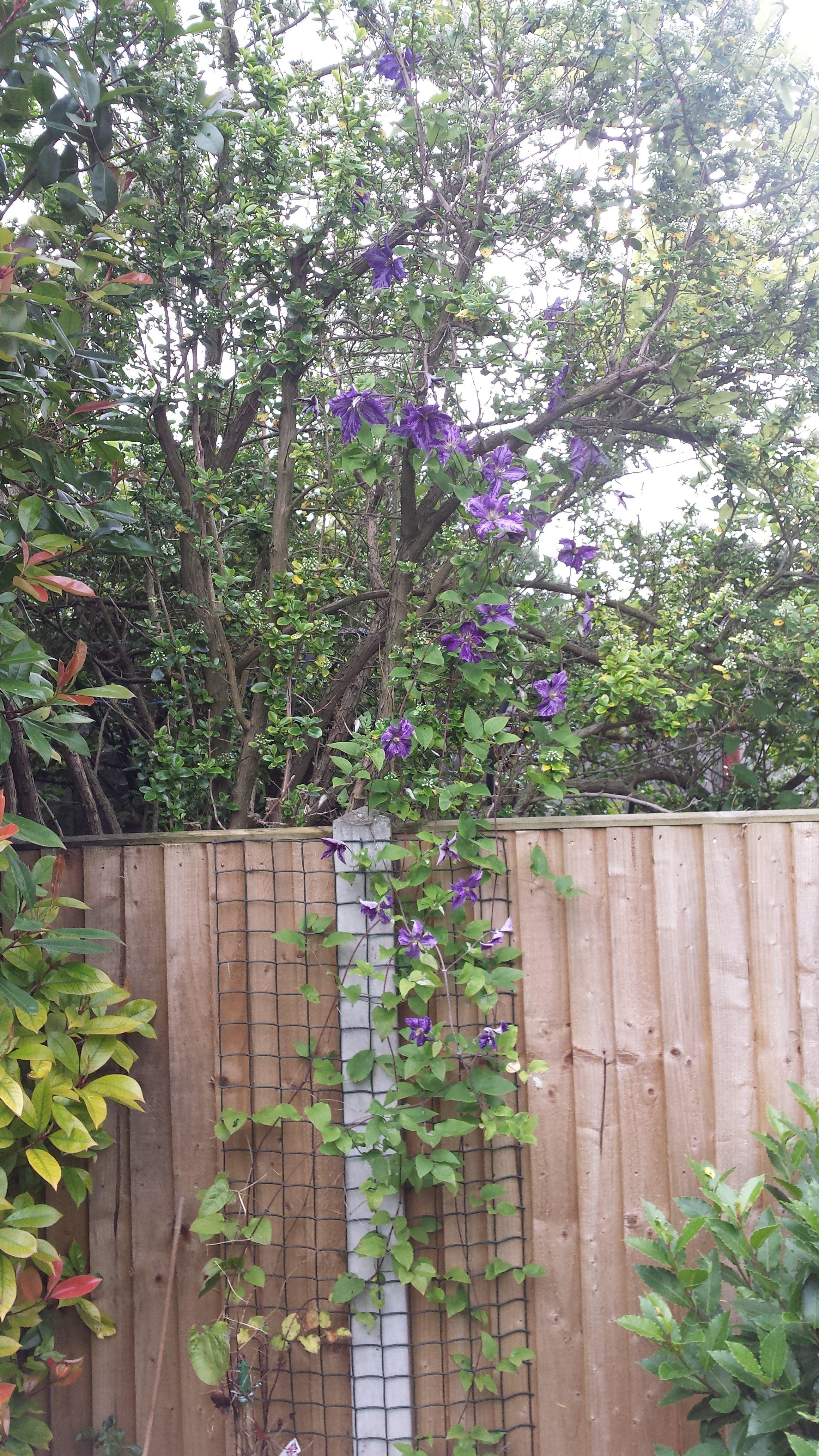 Flowers - Clematis Tie Dye