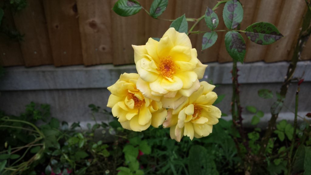 Flowers - Yellow Roses
